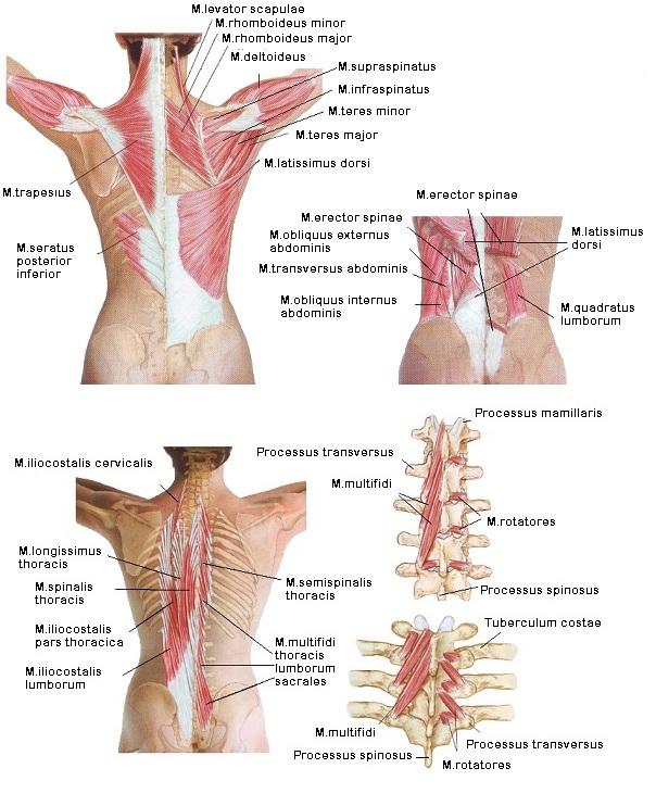 A gerinc felépítése, működése   torna