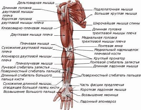 Az emberi vállízület szerkezete - Térd