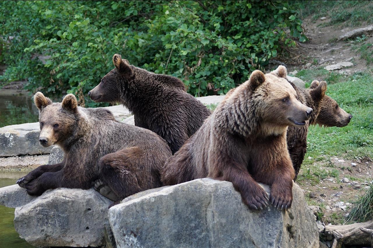 közös kenőcs medve