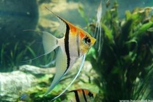 közös halak gyógyszere
