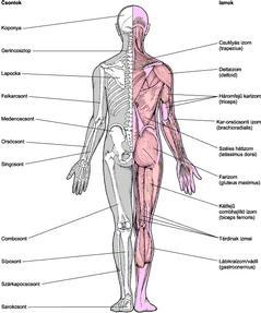 izom-csontrendszer és kötőszövet betegségei)