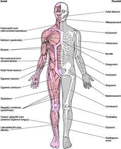 izom-csontrendszer és kötőszövet betegségei gerincvelő derékfájás