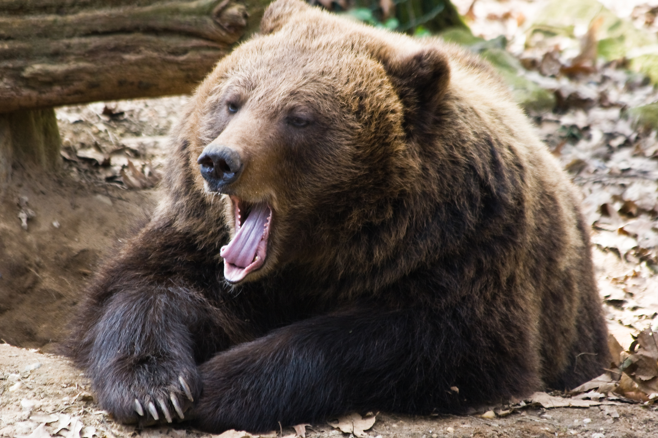 hogyan kell kezelni a medveízületeket)