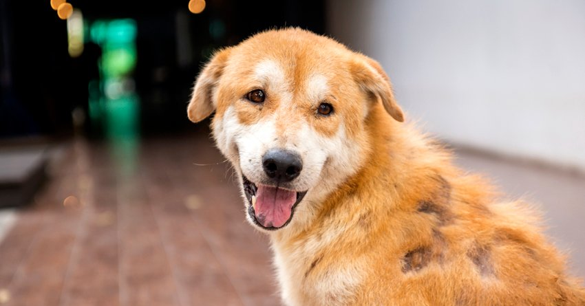 kutya szőr ízületi kezelés)