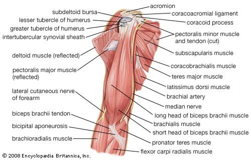scapularis brachialis artrózis