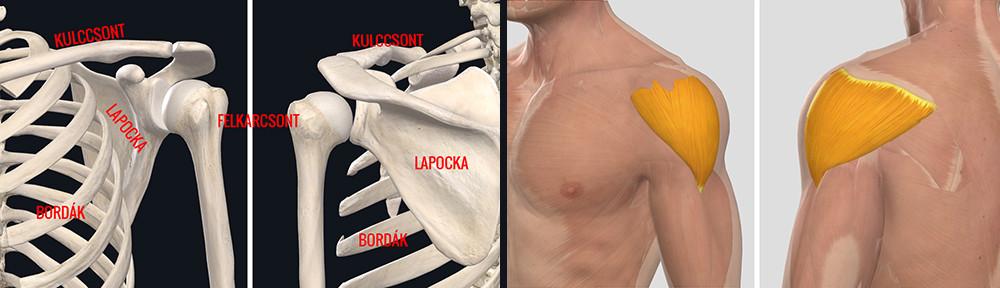 mi a váll periarthrosis kezelés)