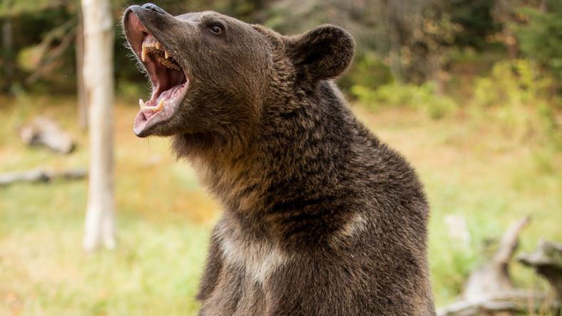 ízületi fájdalom és medve