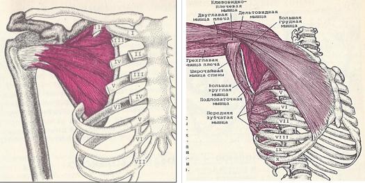 Az emberi vállízület szerkezete