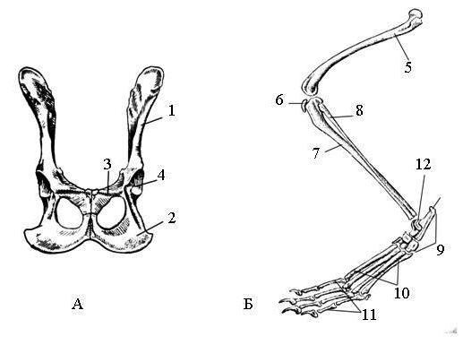a lábak térdízületei összeroppantnak